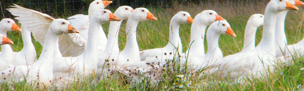 Free-Range Geese - Poultry