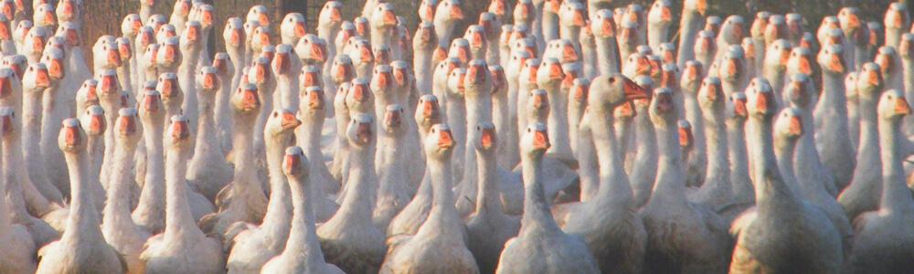 Our Birds - Great Clerkes Farm Foods